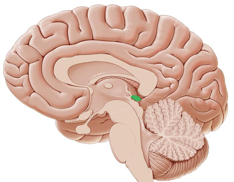 glande pineale stan carrey dessin scientifique troisième œil
