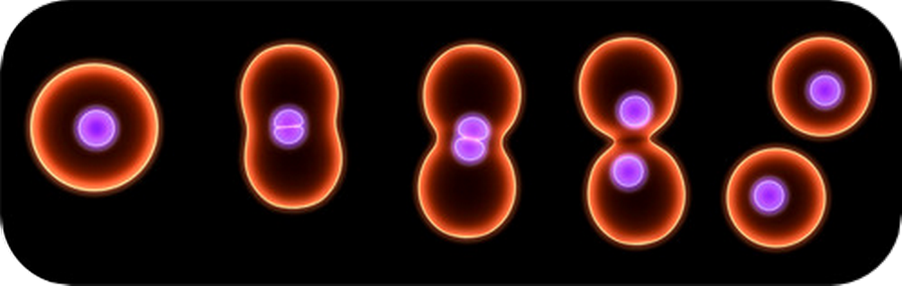 multiplicationd es cellules sophrologie cicatrisation cicatriser